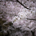 Walking through the blossom