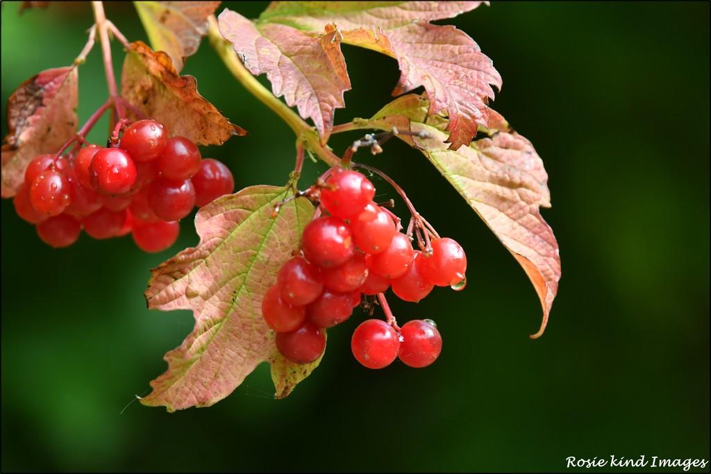 RK3_1034 Juicy berries by rosiekind