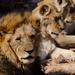 Lions by salza
