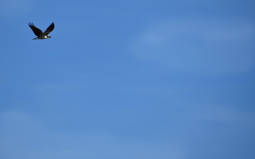 Osprey in the sky by homeschoolmom