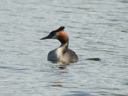 20th Aug 2019 - Great Crested Grebe