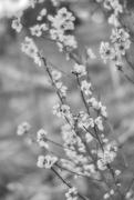 21st Sep 2019 - Black & White Bloom