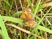 23rd Aug 2019 - Butterfly