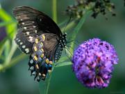 22nd Jul 2019 - Spicebush Swallowtail