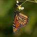 Finally Got a Monarch! by rickster549