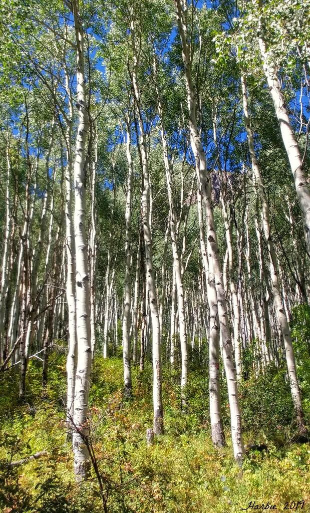 Aspen Trees by harbie