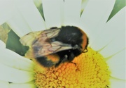 24th Sep 2019 - Dozy Bumble bee