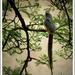 Mousebird by sdutoit