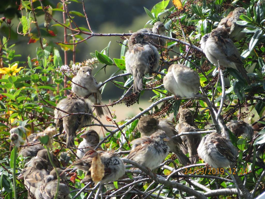 Sparrows drying off by jmdspeedy