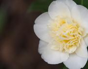 21st Sep 2019 - white camellia