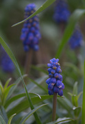 22nd Sep 2019 - Grape Hyacinth