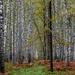 Birch Cape by phmlq