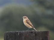 24th Sep 2019 - Whinchat