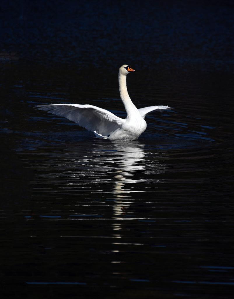 Swan at Llanberis by seanoneill