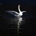 Swan at Llanberis