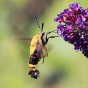 25th Jul 2019 - Snowberry Clearwing
