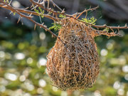 26th Sep 2019 - A different styled Weaver nest