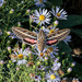 White-lined sphinx moth by lindasees