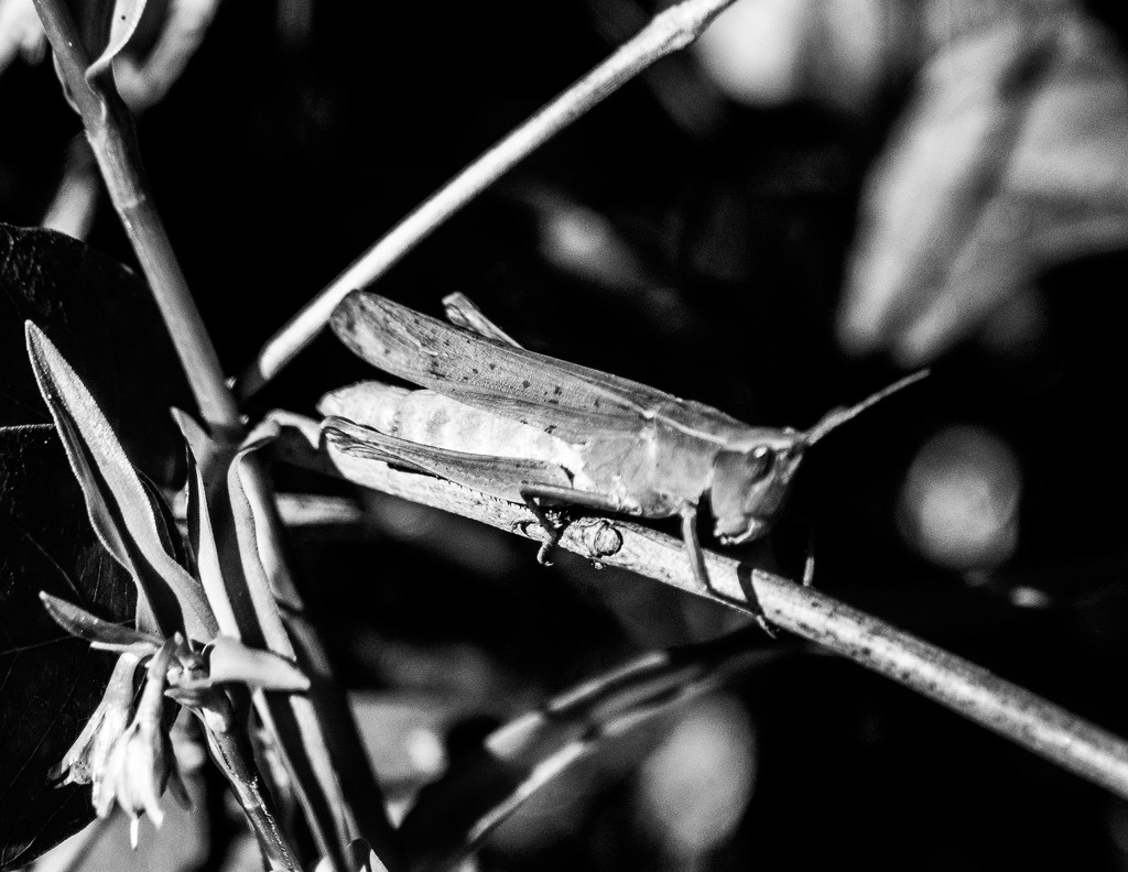 Grasshopper by randystreat