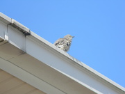 26th Sep 2019 - Bird on Roof of Building