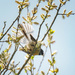 Fantail in pussy willow by maureenpp