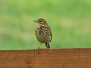 26th Sep 2019 - Meadow Pipit