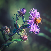 27th Sep 2019 - Bee at Sunset