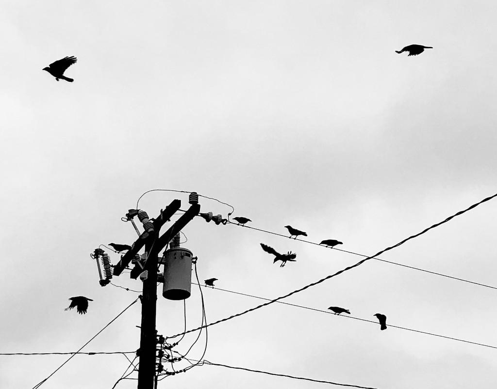 Crows by loweygrace