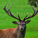 Deer Park Stag by tonygig