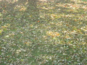 28th Sep 2019 - Leaves in Front Yard