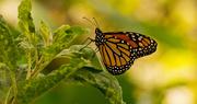 28th Sep 2019 - Monarch Butterfly Taking a BreaK!
