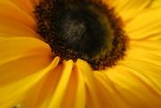 29th Sep 2019 - Sunflower