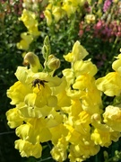 29th Sep 2019 - Bee on snapdragons.