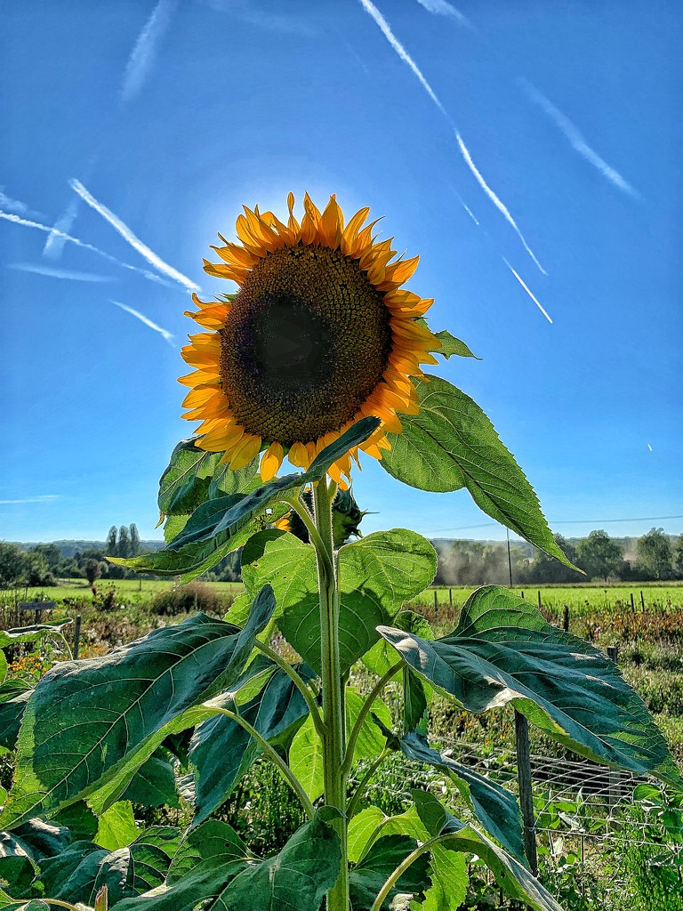 Sunflower.  by cocobella