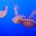 Purple-striped jellies