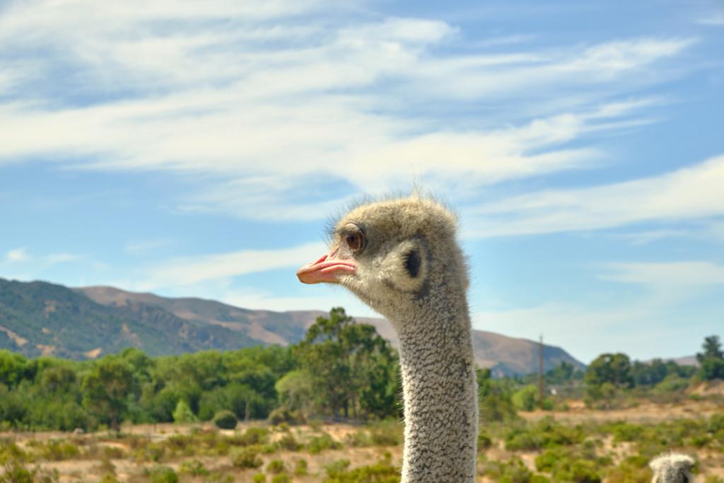 Ostrichland USA by mrslaloggie