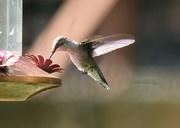 29th Sep 2019 - Hummingbird