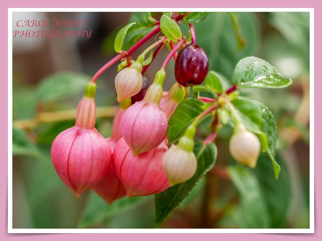 Fuchsia Buds In The Rain by carolmw