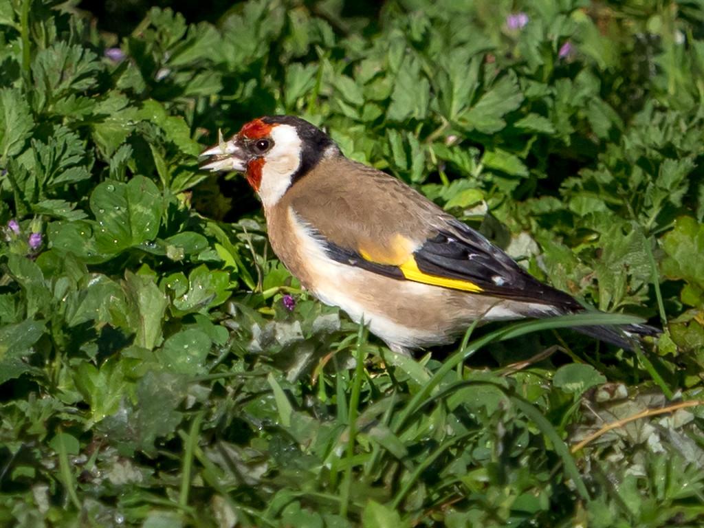 European Goldfinch  by gosia