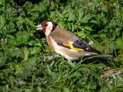 28th Sep 2019 - European Goldfinch