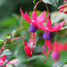 Fuchsia by seattlite
