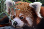 24th Sep 2019 - Red Panda Closeup