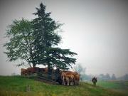 28th Sep 2019 - Cows' backsides