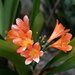 Clivia is out