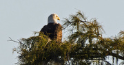 30th Sep 2019 - Bald Eagle on the Watch!
