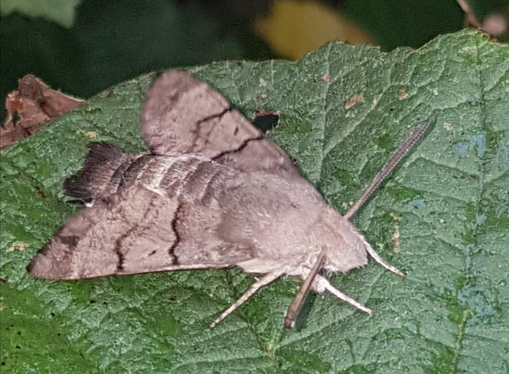 Hummingbird Hawk Moth by julienne1