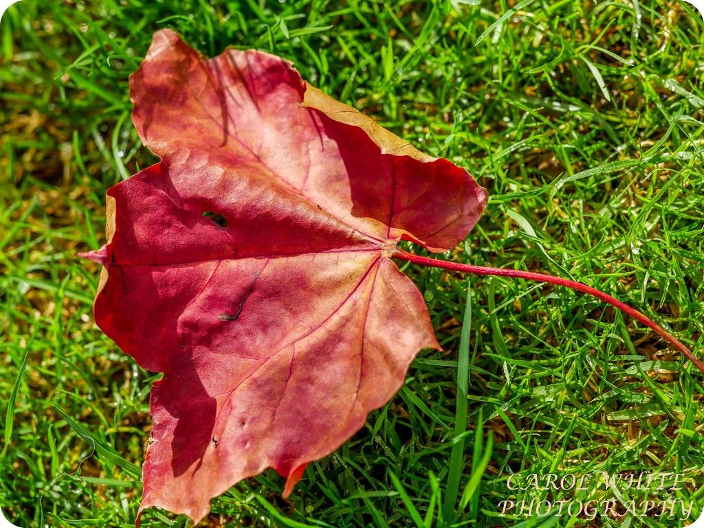 Autumn's Arrived by carolmw