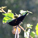 Almost Red-winged Blackbird