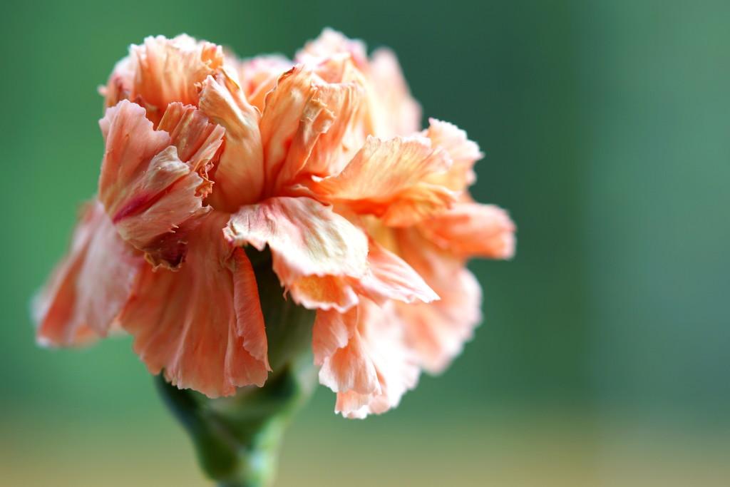 Peach Petals by sunnygirl