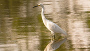 1st Oct 2019 - Snowy Egret on the Prowl!